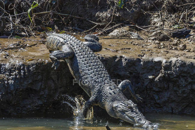 Дикі морський Крокодил занурень у воду — стокове фото