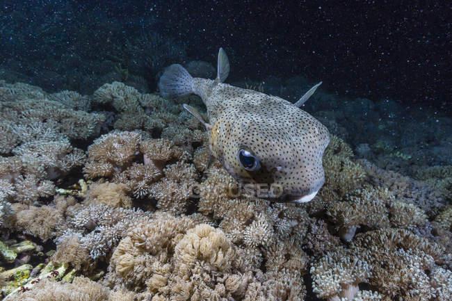 Porcupinefish під водою на ніч — стокове фото