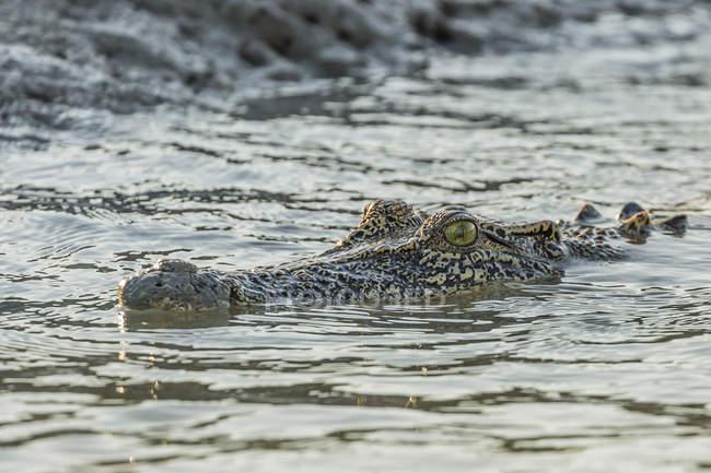 Дикі морський Крокодил у воді — стокове фото