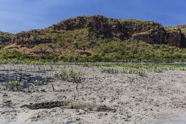 Дикі морського крокодила на березі — стокове фото