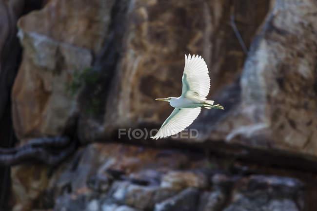 Біла чапля Тихоокеанського риф в польоті — стокове фото