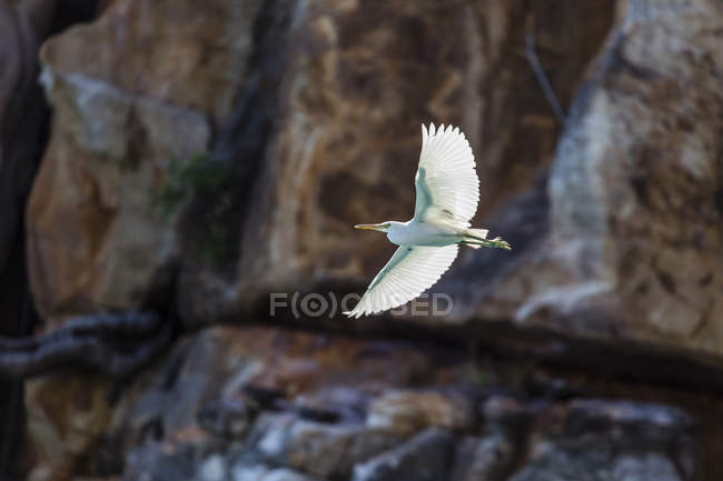 White pacific reef heron in flight — Stock Photo