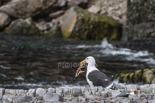 Glaucous gull bird on rocks — Stock Photo