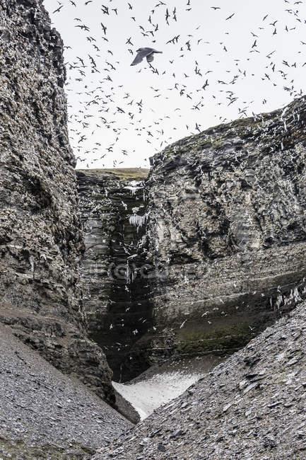 Mouettes tridactyles en vol — Photo de stock