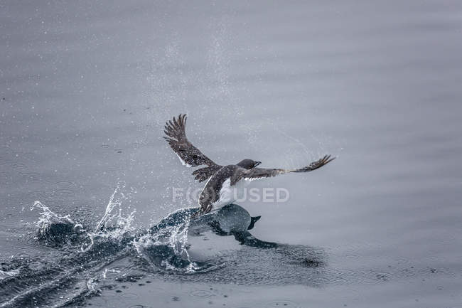 Brunnichs guillemots taking flight — Stock Photo