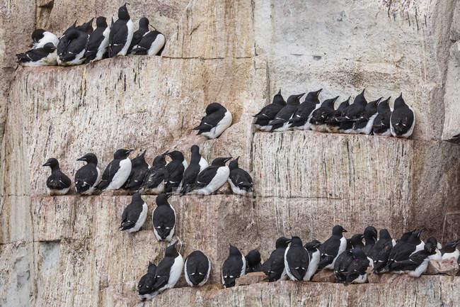 Brunnichs nisten auf schmalen Felsvorsprüngen an Alkefjelet — Stockfoto