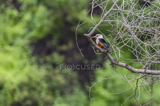 Grey-headed kingfisher on tree branch — Stock Photo