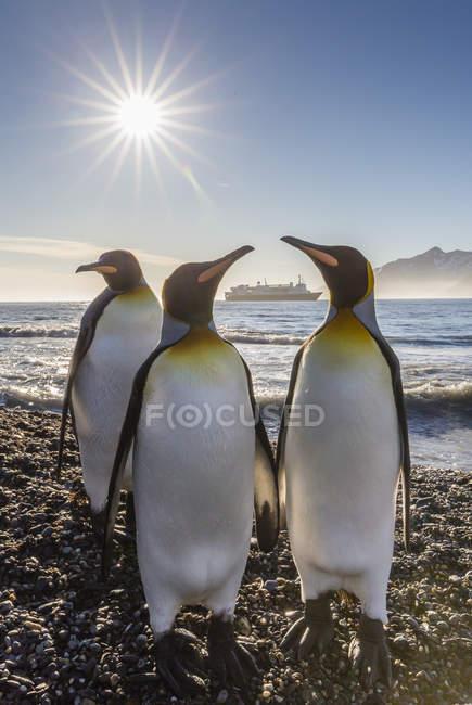 King penguins, Aptenodytes patagonicus — Stock Photo