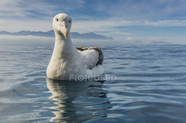 Wandering albatross in calm sea — Stock Photo