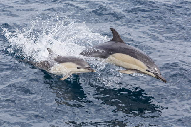 Common dolphins, Delphinus capensis — Stock Photo