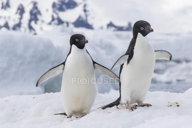 Coppia di pinguini di Adelia — Foto stock