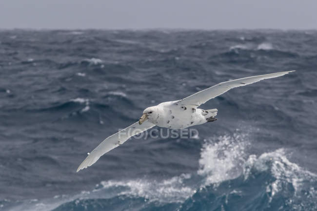 White morph of southern giant petrel — Stock Photo