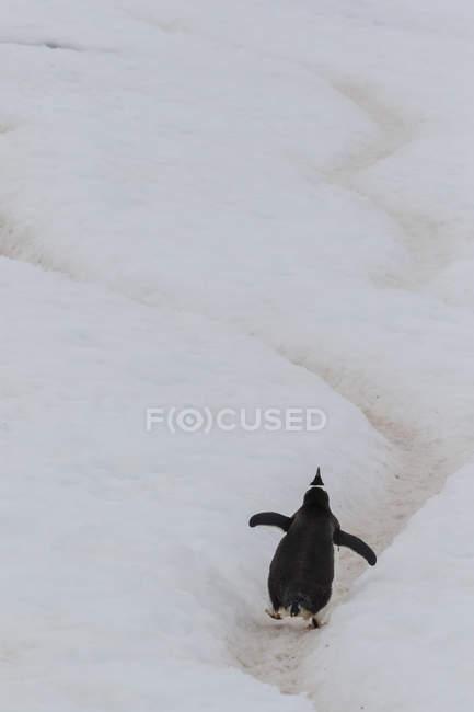 Pinguino di Gentoo sull'autostrada di pinguino — Foto stock