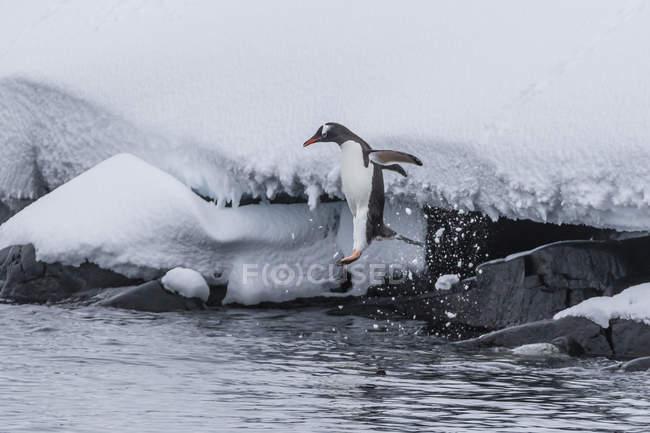 Pinguino Gentoo immersioni in mare — Foto stock