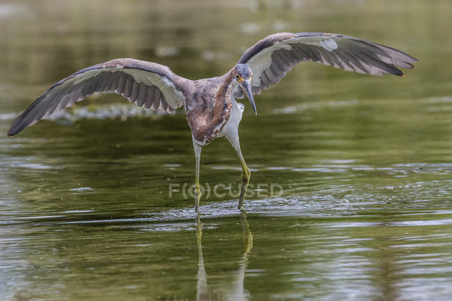 Tricolored heron in water — Stock Photo