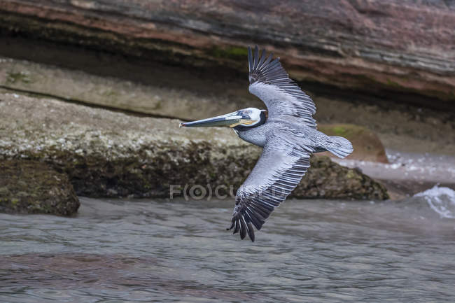 Brown pelican in flight — Stock Photo