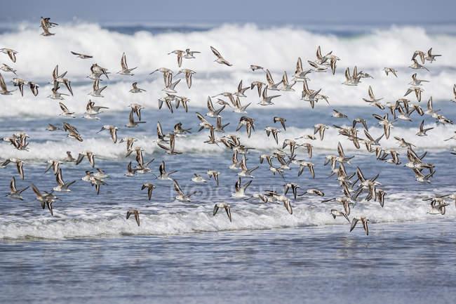 Gregge di migrazione Piovanelli — Foto stock