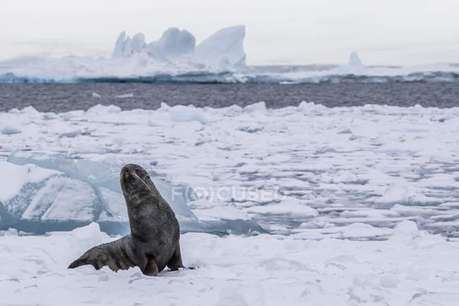 Otarie à fourrure Antarctique sur la glace — Photo de stock