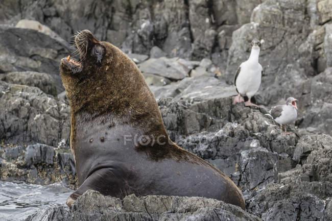 Leone marino sudamericano — Foto stock