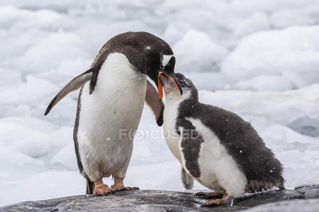 Pulcino d'alimentazione del pinguino Gentoo — Foto stock