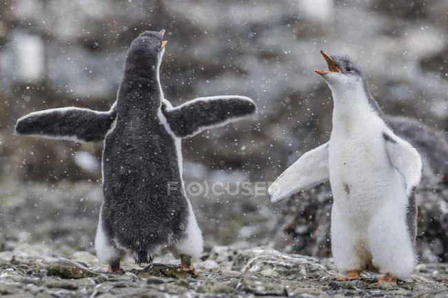 Pulcini di pinguino Gentoo giocando — Foto stock