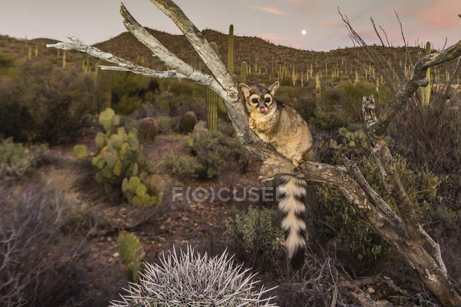 Ringtail on dried tree at sunset — Stock Photo