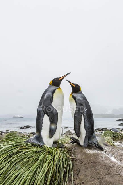 Re pinguini sulla spiaggia — Foto stock