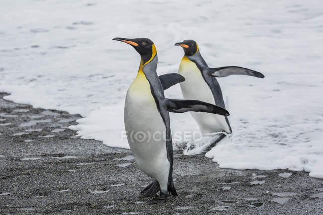 Riva del mare di pinguini del re — Foto stock