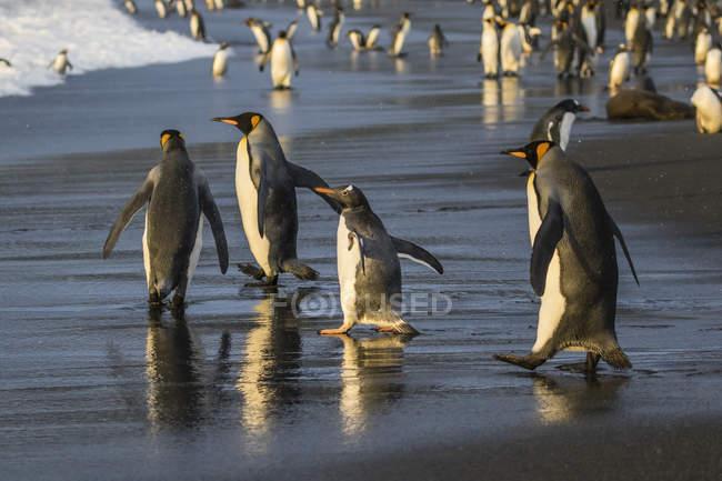Pinguini di Gentoo sulla spiaggia — Foto stock