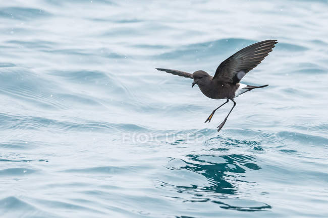 Wilsons storm petrel over water — Stock Photo