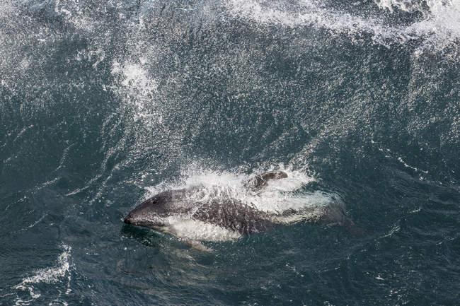 Peales Дельфін у важких хвиль — стокове фото