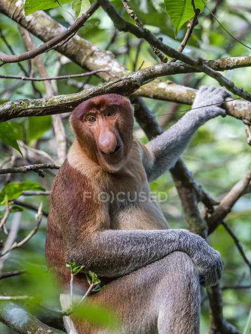 Proboscis monkey on tree — Stock Photo