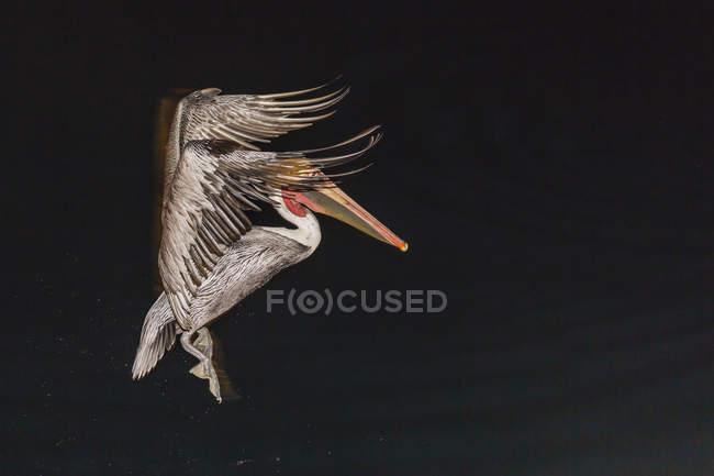 Pellicano bruno adulto — Foto stock