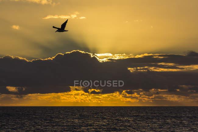 Uccello in volo sopra il mare all'alba — Foto stock