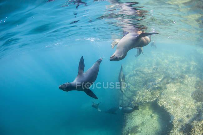 Leões marinhos da Califórnia, natação subaquática — Fotografia de Stock