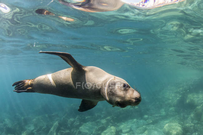 Leão-marinho da Califórnia debaixo d'água — Fotografia de Stock