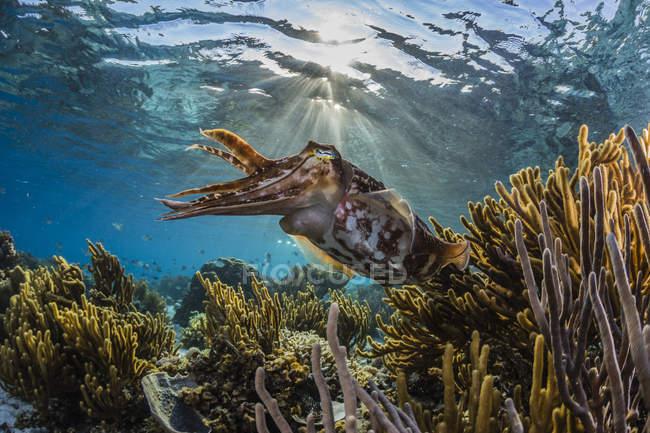 Broadclub sepia en Arrecife - foto de stock