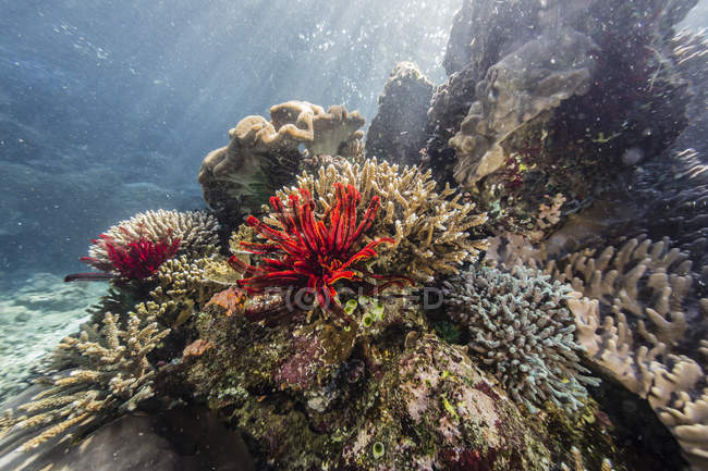 Crinoideo rojo en Tengah Kecil Island - foto de stock