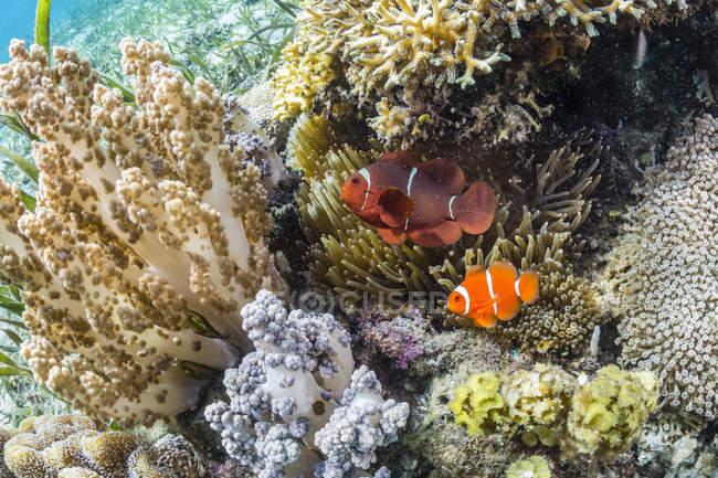 Adulto spinecheek anemonefish — Fotografia de Stock