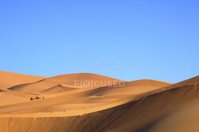 Chameaux dans le désert — Photo de stock