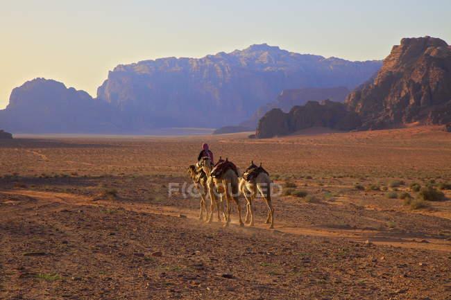 Vista de beduínos com camelos — Fotografia de Stock
