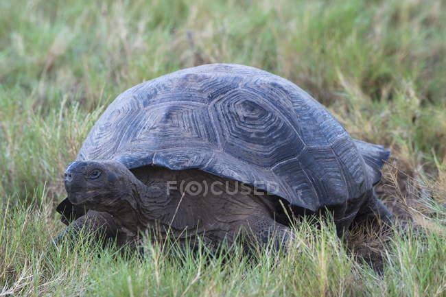 Tartaruga gigante de Galápagos na grama — Fotografia de Stock