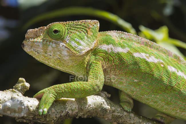 Globo-chifre de camaleão no ramo de madeira — Fotografia de Stock