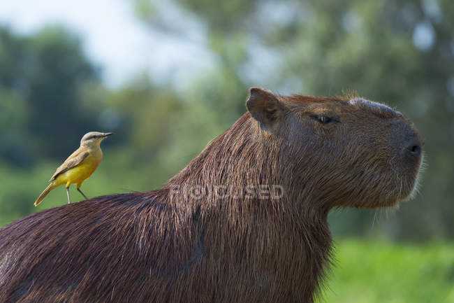 Capibara e bianco-throated tiranno — Foto stock