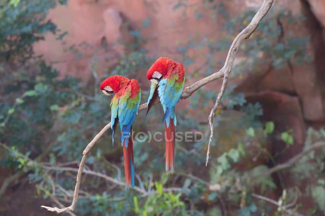 Guacamayos rojo y verde en rama - foto de stock