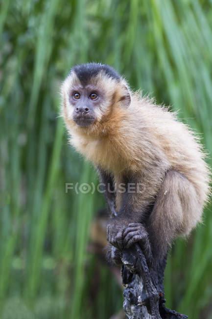 Capuchinhos adornado em palmeira — Fotografia de Stock