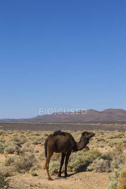Camelo, perto da estrada de Merzouga — Fotografia de Stock