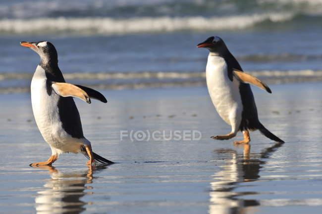 Pinguini di Gentoo in esecuzione sul litorale — Foto stock
