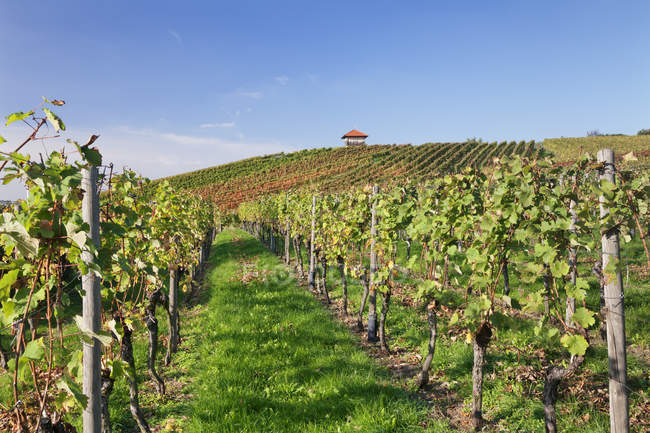 Cottage in vineyards in autumn — Stock Photo