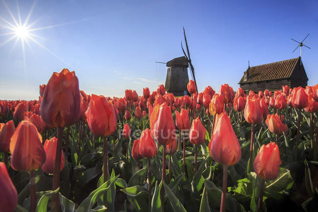 Red tulips and windmill — Stock Photo